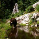 Медведи на Аляске