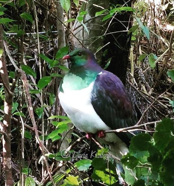 Птицы Новой Зеландии
